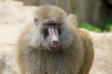Papiers peints Singe WROCLAW, POLAND - JUNE 09, 2020: Yellow baboon (Papio cynocephalus) is an old world monkey inhabiting open woodlands and grasslands of Africa south of the Sahara. ZOO in Wroclaw, Poland.