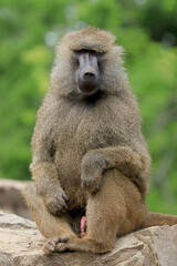 Photo sur Aluminium Singe WROCLAW, POLAND - JUNE 09, 2020: Yellow baboon (Papio cynocephalus) is an old world monkey inhabiting open woodlands and grasslands of Africa south of the Sahara. ZOO in Wroclaw, Poland.