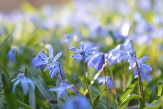 Blausterne in der Wiese