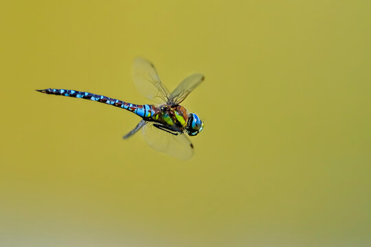 Closeup photo of dragonfly with transparent wings, neutral colorful background. Anax imperator.