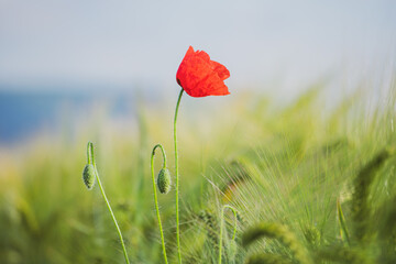 Foto op Canvas Poppy Single poppy
