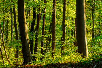Germany, Bavaria, Vibrant green beech forest in spring