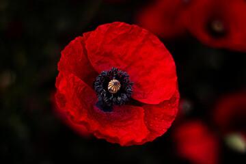 Fototapeta mak  czerwony kwiat obraz