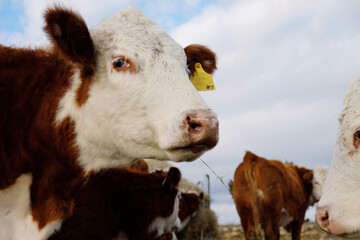 Wall Mural - Close up of Hereford cow looking at camera on beef farm.