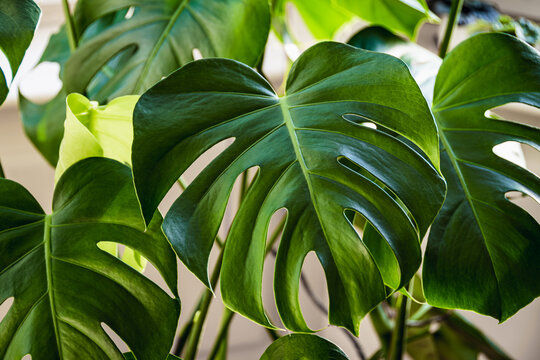 Big green leaves of a Swiss cheese plant aka monstera deliciosa indoors.