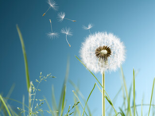 Obraz Close up of dandelion plant blowing in wind - fototapety do salonu