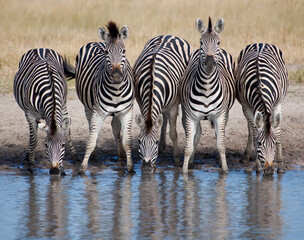 Five zebras in a row at watering hole