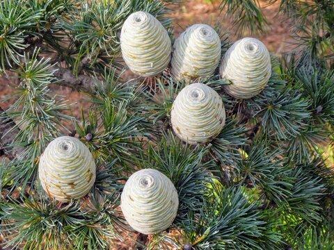 Green Cedar of Lebanon cones on pine branch in Melbourne, Australia
