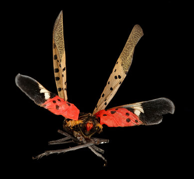 Beautiful, but scary. This is the Spotted Lanternfly (Lycorma delicatula). An impressive 2 inch exotic Fulgorid type thing from China and Southeast asia, Macro specimen, Flying insect, back