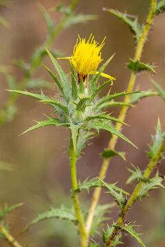 Macrophotographie de fleur sauvage - Carthame laineux - Carthamus lanatus