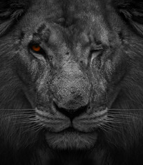 Foto auf Leinwand Panther Wounded and beaten Lion in Africa, Greyscale Black & White Illustration