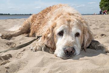 sand_dog