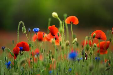 Sommerblumenfeld mit roten Mohnenblumen Fotoväggar