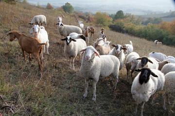 Sheep, Goat, Grazing animal, Geisa, Rhoen Biosphere Reserve, Thuringia, Germany, Europe