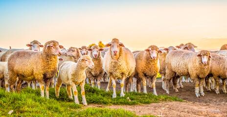 Cute Merino sheep in a farm pasture land in South Africa