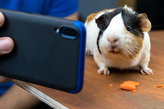 Guinea pig watching something on blue smartphone and eating carrot on wooden table