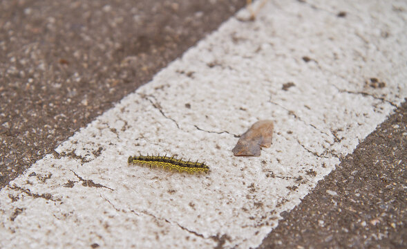 Close-up of caterpillar walking across white line on asphalt road. Stock photography.