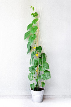 Cucumber plant with wicker support
