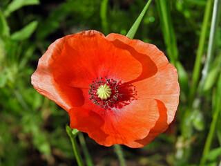 Fototapeta roslina o czerwonych kwiatach o nazwie mak polny rosnacy w poblizu drogi polnej w miejscowosci fasty na podlasiu w polsce