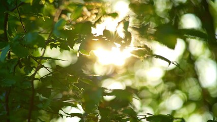 Wall Mural - Rich green leaves of a tree waving in wind. Beautiful roundish bokeh. Sun shining through. Abstract slow motion shot