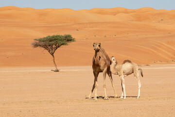 Mother camel cow with calf in Wahiba Sands desert of Oman