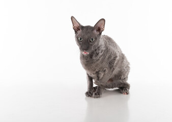 Curious Black Cornish Rex Cat Sitting on the White Table with Reflection. White Background. Portrait. Open Mouth, Tongue out.