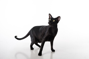Curious Black Oriental Shorthair Cat Standing on White Table with Reflection. White Background. Long Tail.