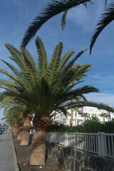 Poster Palm tree Palm trees in Gran Canaria.