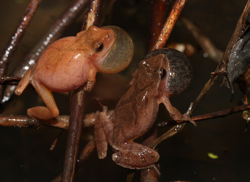Two male Spring Peeper frogs (Pseudacris crucifer) calling next to each other with their vocal sacs inflated.