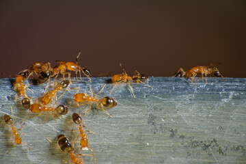 Group of pharaoh ants roaming around for food