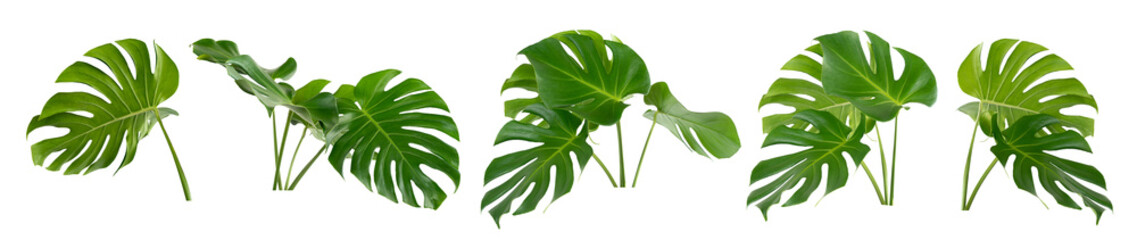 collection of green monstera tropical plant leaf on white background for design elements, Flat lay,clipping path