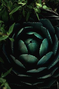 Overhead view of cactus plant