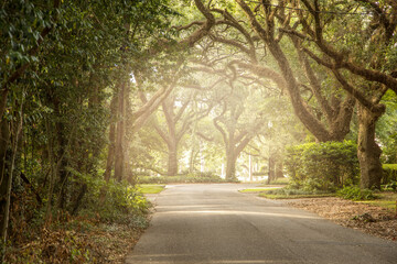 An oak tree lined road in the south with light streaming in near sunset background with copy space Fotomurales