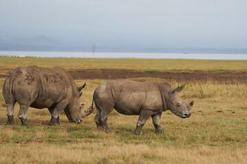 Poster Rhino Rhino Baby and Mother- Rhinoceros with Bird White rhinoceros Square-lipped rhinoceros Ceratotherium simum