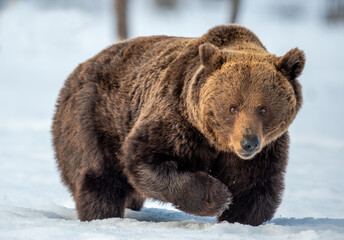 Brown bear walking on the snow in winter forest. Front view. Scientific name: Ursus Arctos. Wild...