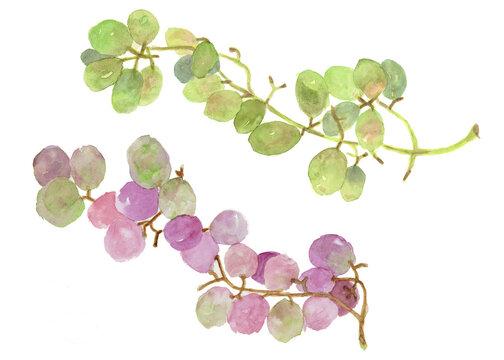 マスカットの緑と巨峰紫の葡萄水彩画