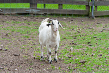 Goat in the Garden. Male