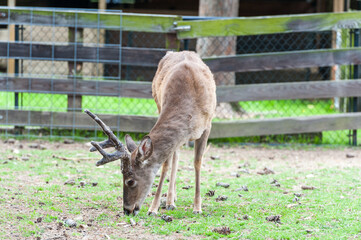Hind Female Animal Eating Green Grass. Persian fallow deer