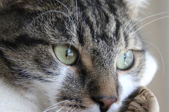 kot felinus zwierzeta futro oczy siersc zblizenie