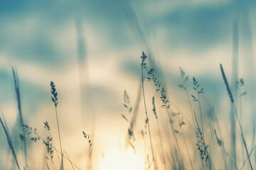 Wild grass in the forest at sunset. Macro image, shallow depth of field. Abstract summer nature...