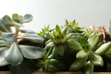 Many different echeverias in wooden tray on light grey background, closeup. Succulent plants