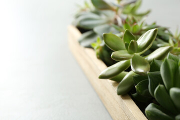 Canvas Prints Countryside Many different echeverias in wooden tray on light background, closeup. Succulent plants