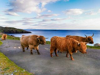 Wall Mural - Highland cows and a bull on the road to Hushinish
