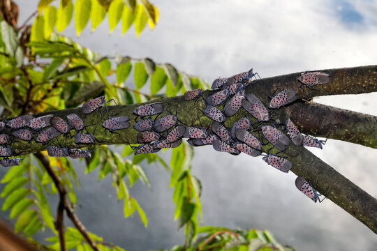 An adult Spotted Lanternfly (Lycorma delicatula) colony on a Tree of Heaven (Ailanthus altissima) in Montgomery County, Pennsylvania.