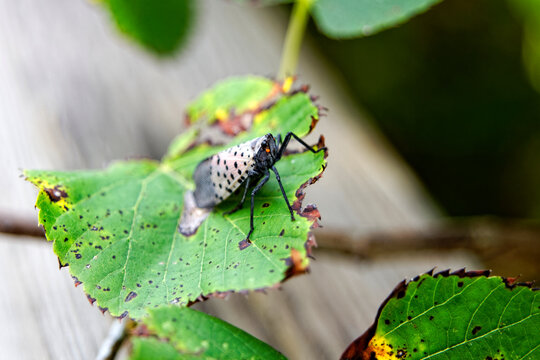 An adult Spotted Lanternfly (Lycorma delicatula) on a Tree of Heaven (Ailanthus altissima) in Montgomery County, Pennsylvania.