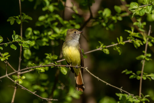 The great crested flycatcher  is a large insect-eating bird of the tyrant flycatcher