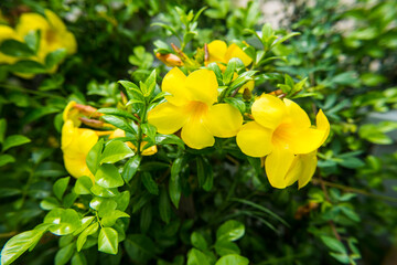 Garden Poster Roe Flowering plant. This yellow flower species Thai people call it Dok ban bu ree.