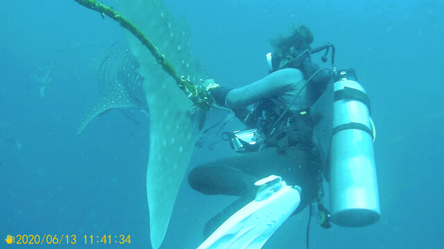 A diver tries to cut a rope from the tail of a whale shark near Koh Tao Island