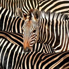 Portrait of a zebra amidst of other zebras