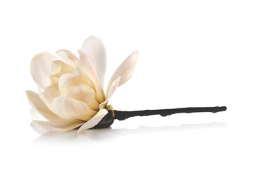 Magnolia flower on white background. Side view